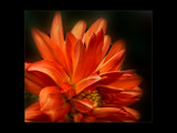 Orange Diffusion by LynEve, Photography->Flowers gallery