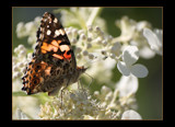 Painted Lady by tigger3, Photography->Butterflies gallery