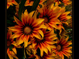 Gazania Gold by LynEve, Photography->Flowers gallery