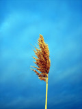 Wheat Dreams by PhotoSynthesis, Photography->Flowers gallery