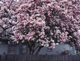 Giant Pink Magnolia Tree ! by verenabloo, Photography->Flowers gallery