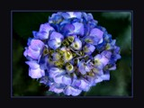 Happy Hydrangea by LynEve, Photography->Flowers gallery