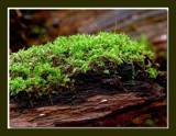 Moss Growing On Decaying Log by gerryp, Photography->Nature gallery
