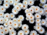 suspended mums by tee, Photography->Flowers gallery