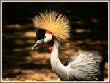 Grey Crowned Crane by Jimbobedsel, Photography->Birds gallery