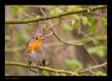 Robin by kodo34, Photography->Birds gallery