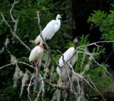 Three amigos by GomekFlorida, photography->birds gallery