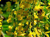 Laburnum And Bee  (For Mrs b) by braces, Photography->Flowers gallery