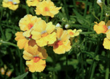 'Sunsatia Lemon' Nemesia by trixxie17, photography->flowers gallery