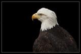 Bald Eagle by Jimbobedsel, photography->birds gallery