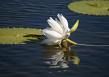 Reflections by rahto, Photography->Flowers gallery