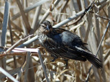 Female Red-Winged Blackbird by gerryp, Photography->Birds gallery