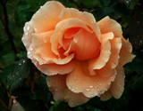 Another Wet Rose by braces, photography->flowers gallery