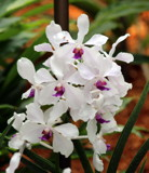 Singapore Orchids (3) by Pistos, photography->flowers gallery