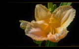 Dreamy Day Lily by nmsmith, Photography->Flowers gallery
