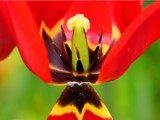 Tulip. by pom1, Photography->Flowers gallery