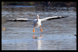 Hooray! The White Pelicans are Back by garrettparkinson, photography->birds gallery