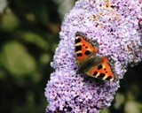 Butterfly bush by Si, Photography->Butterflies gallery