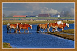 Wading Wild Horses by corngrowth, Photography->Animals gallery