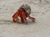 Coenobita perlatus by kelseyann, photography->animals gallery