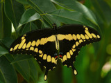 A Giant Swallowtail by muki7, Photography->Butterflies gallery