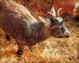 Pygmy Goat by trixxie17, photography->animals gallery