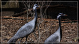 Demoiselle Cranes by Jimbobedsel, photography->birds gallery