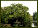 Grand Cypress by Anita54, Photography->Landscape gallery