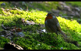 robin! by JQ, Photography->Birds gallery