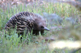 Echidna by Samatar, Photography->Animals gallery