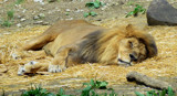 Even Kings Take Naps by Pistos, photography->animals gallery