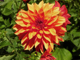 Dahlia 3 by trixxie17, photography->flowers gallery