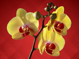 Orchids by Paul_Gerritsen, Photography->Flowers gallery