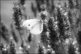 White Butterfly by LynEve, photography->butterflies gallery