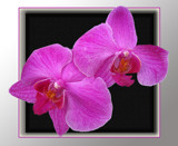 Pair of Orchids by slow_2gojoe, Photography->Flowers gallery