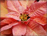 Can't Decide Poinsettia by trixxie17, holidays->christmas gallery