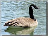 Duck, Duck...Goose by Hottrockin, Photography->Birds gallery