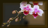 Miniature Phalaenopsis by LynEve, photography->flowers gallery