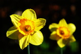 Spring Daffodils by lindala, photography->flowers gallery