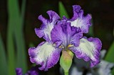 """Our Iris called: Jesse's Song"" by icedancer, photography->flowers gallery"
