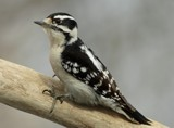 Female Downy Woodpecker by egggray, photography->birds gallery