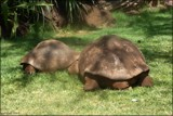 Giant Galapagos Tortoises by LynEve, photography->reptiles/amphibians gallery