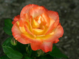 anita's coral rose by jeenie11, Photography->Flowers gallery