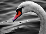 Drippy Swan B&W ? by braces, photography->birds gallery