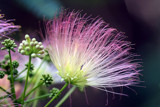 mimosa bloom 2 by tee, photography->macro gallery