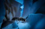 Blue Hornet by Eubeen, photography->insects/spiders gallery
