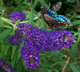 Colors of Summer by foofoo, Photography->Butterflies gallery
