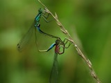 damselflies again by stormdancer, Photography->Insects/Spiders gallery