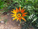 Australian Flower by tfreeman, Photography->Flowers gallery