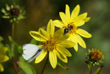 Bee a butterfly by Paul_Gerritsen, Photography->Butterflies gallery